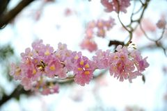 Tabebuia Fotografie Stock