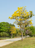 Tabebuia Argentea tree Royalty Free Stock Photo