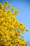 Tabebuia Argentea trees Royalty Free Stock Photos