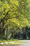 Tabebuia aurea flower Stock Images