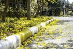 Tabebuia aurea flower Stock Photos