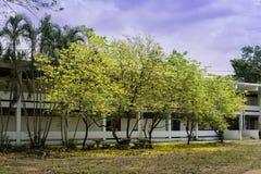 Tabebuia aurea flower Stock Image