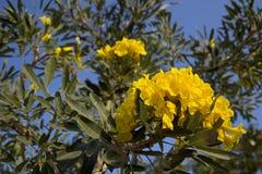 Tabebuia aurea flowers Stock Photo
