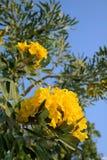 Tabebuia aurea flowers Stock Photography