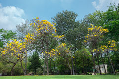 Tabebuia aurea. In the park Stock Image