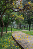Tabebuia aurea. In the park Royalty Free Stock Photo