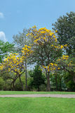Tabebuia aurea in the park. With the blue sky Royalty Free Stock Image