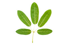 Tabebuia aurea, Silver trunpet tree leaves royalty free stock photography