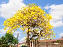 Tabebuia aurea tree, Florida Stock Images