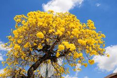 Tabebuia aurea tree in South Florida Stock Photography