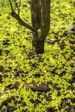 Tabebuia aurea Stock Image