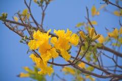 Tabebuia Baum Lizenzfreies Stockfoto