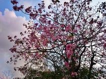 Tabebuia blomma i bangkok Arkivfoto