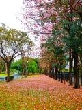 Tabebuia blomma i Thailand Arkivfoton