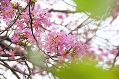 Tabebuia blommar söta rosa färger att blomma i Thailand Arkivfoto