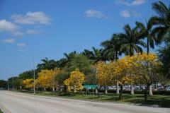 Tabebuia Blossom Trees Along Sidewalk Stock Photography