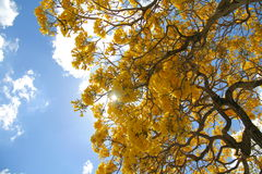 Tabebuia Blossoms Stock Photo