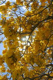 Tabebuia Blossoms Royalty Free Stock Photos