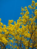 Tabebuia Chrysanth or blooming yellow flower tree Stock Images