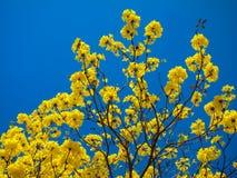 Tabebuia Chrysanth of gele bloemboom stock foto's