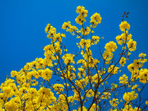 Tabebuia Chrysanth ou arbre jaune de fleur Photos stock