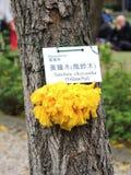 Tabebuia-chrysantha amarillo-Pui Fotografía de archivo
