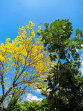 Tabebuia Chrysantha or blooming yellow flower tree and green rou. Nd leaves tree with blue sky background on sunny day Royalty Free Stock Photos