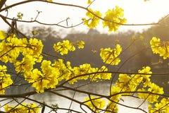 Tabebuia chrysantha flower blossom royalty free stock photos