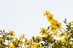 Tabebuia chrysantha holds some flowers and a white background. Tabebuia chrysantha flowers usually bloom in summer, as trees native to the North of the country Stock Photo