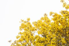 Tabebuia chrysantha flowers are some of the blossoms and white background. Tabebuia chrysantha flowers usually bloom in summer, as trees native to the North of Stock Photos