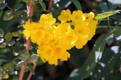 Tabebuia-chrysantha gelbe Blumenansicht stockfotografie