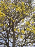 Tabebuia chrysantha. National Tree of Venezuela. Tabebuia chrysantha araguaney or yellow ipê, known as guayacan in Colombia, as tajibo in Bolivia, and as ip stock images