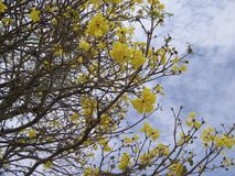 Tabebuia chrysantha. National Tree of Venezuela. Tabebuia chrysantha araguaney or yellow ipê, known as guayacan in Colombia, as tajibo in Bolivia, and as ip stock photo