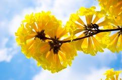 Tabebuia chrysotricha黄色开花开花 库存图片