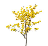 Tabebuia chrysotricha黄色开花开花 库存照片