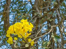 Tabebuia chrysotricha黄色开花开花 免版税图库摄影