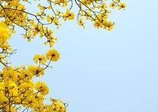 Tabebuia chrysotricha黄色开花开花 免版税库存图片
