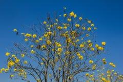 Tabebuia chrysotricha 免版税库存照片