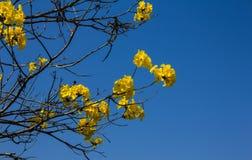 Tabebuia chrysotricha 免版税库存图片