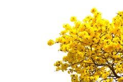 Tabebuia chrysotricha 免版税图库摄影