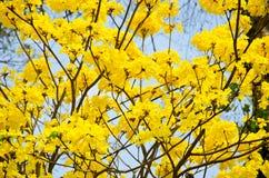 Tabebuia chrysotricha黄色开花开花 免版税库存照片