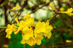 Tabebuia chrysotricha Lizenzfreies Stockfoto