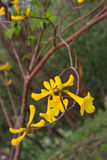 Tabebuia chrysotricha Stockfotos
