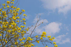 Tabebuia-chrysotricha Gelbblumen Stockbild