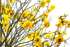 Tabebuia chrysotricha yellow flowers. Stock Photography