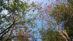 Tabebuia cor-de-rosa Fotografia de Stock