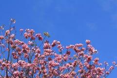 Tabebuia dentellare di fioritura Rosea Fotografia Stock