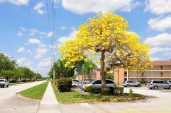 Tabebuia drzewo Zdjęcie Royalty Free