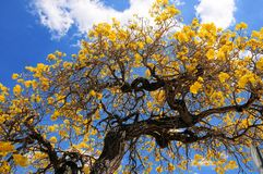 Tabebuia drzewo w pełnym kwiacie Fotografia Stock