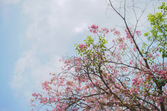 Tabebuia, fleur rose et ciel bleu Photographie stock libre de droits
